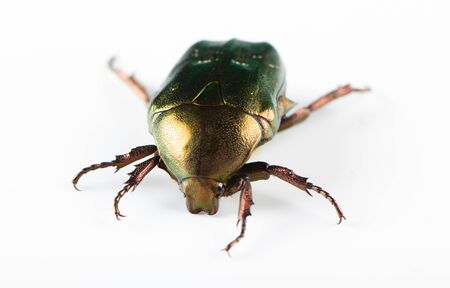 Rose chafer cetonia aurata isolated on white background