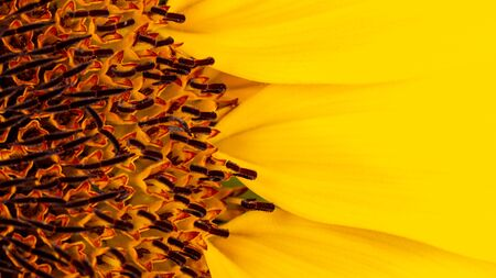 Beautiful large decorative sunflower with big Yellow and red petals. Stock fotó