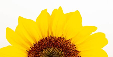 Beautiful large decorative sunflower with big Yellow and red petals.