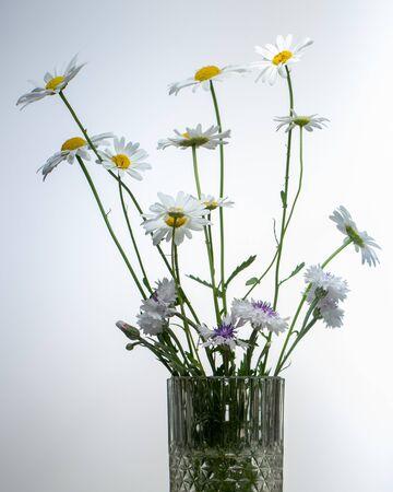 chamomile flower isolated on white background close up