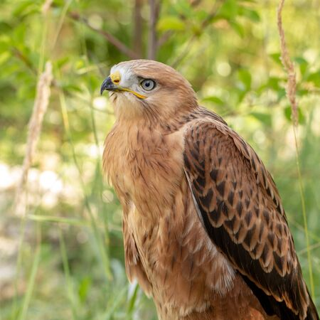 Hawk portrait with selective soft focus, on the background of green nature. close up.