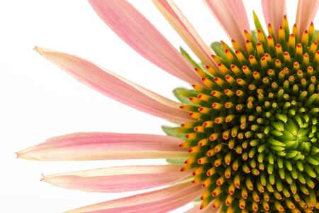 Echinacea, a flower, on a white background. The plant is widely used in medicine