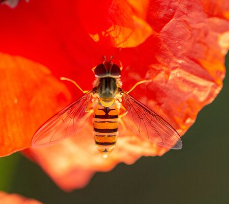 Syrphidae sits on a red poppy flower, useful insect pest that destroys pests. Close up