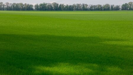 Fields with green wheat under a blue sky landscape background