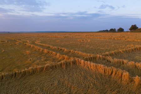 Wheat harvest destroyed by a thunderstorm. Morning summer landscape background