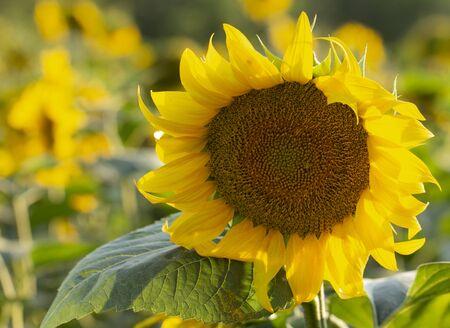Młody kwiat słonecznika z bliska, nieostrość z bliska Zdjęcie Seryjne