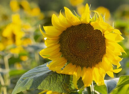 Young sunflower flower close up, soft focus close up Stock Photo