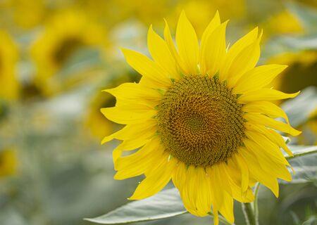 Young sunflower flower close up, soft focus close up