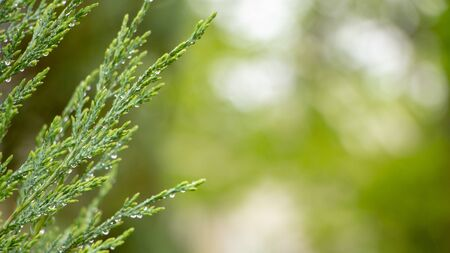 Young saturated bright green needles on a bokeh background, with place for text close up