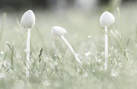 Background, white mushrooms in green grass, with dew drops, closeup