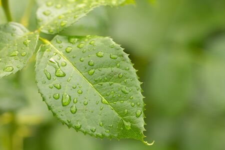 green leaf of young rose with water drops background