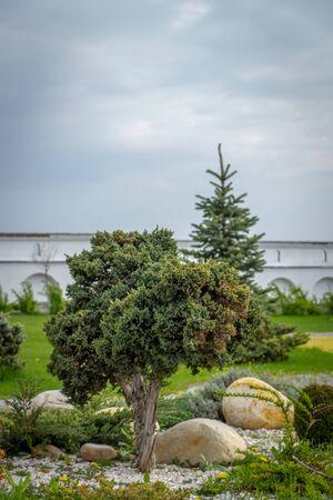 Juniper with bonsai-shaped sheared, used in landscape design, on flowerbed Zdjęcie Seryjne