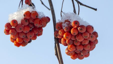 Berries of orange ripe mountain ash on a snowy branch close up