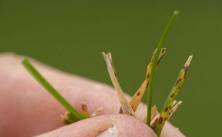 Fusariosis patient running lawn in gardeners hand on green background, closeup
