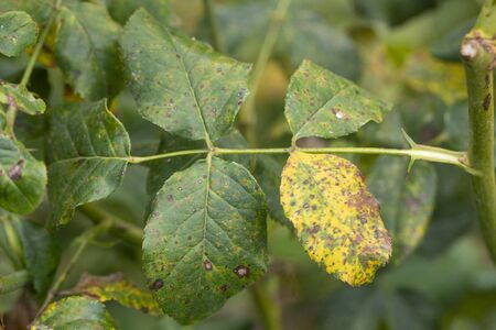 The rose leaves turned yellow due to the lack of chelates in the soil. Or severe drought. Reklamní fotografie