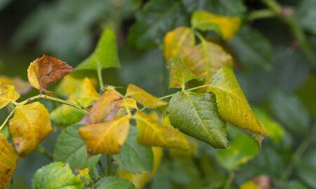 Las hojas de rosa se volvieron amarillas debido a la falta de quelatos en el suelo. O sequía severa.