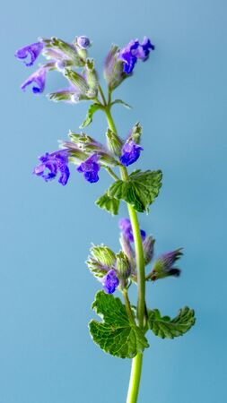 Blue mint flowers on turquoise background. Mint  . Food photography