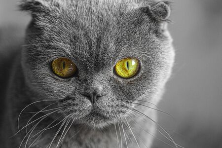Scottish fold cat, portrait with focus on eyes