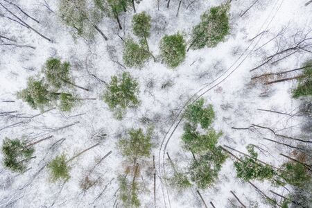 Rare snowy pine forest, with dirt roads. Drone view.
