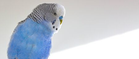 The head of a blue wavy parrot, on a white background.
