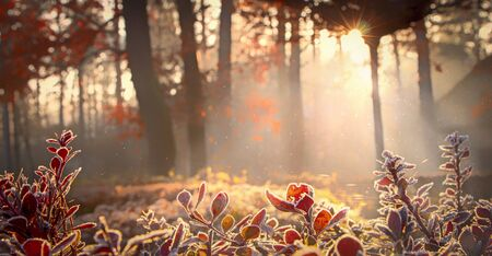 The suns rays make their way through the leaves of the trees. Barberry branches in frost. Morning autumn frosts, cooling. The first days of winter.