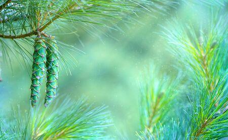 Green pine cones on a tree, closeup, selective focus 版權商用圖片