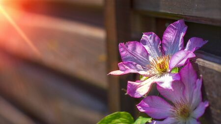 Red clematis on old wooden fence. close up