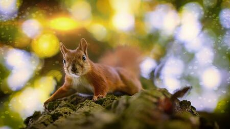 Red squirrel on a tree, closeup, selective focus.