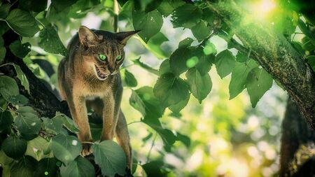 The green-eyed cat of the Abyssinian breed sits on a large tree 版權商用圖片