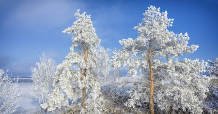 Snowy pine against winter field background and blue sky, winter landscape, with place for text