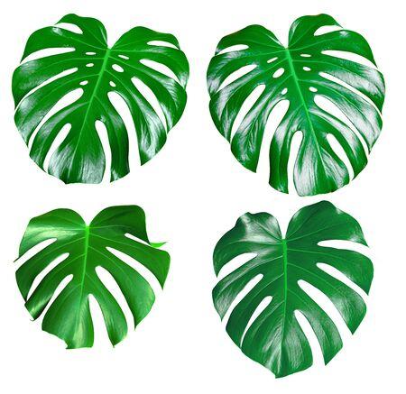 Monstera verde jugosa hoja fresca aislado sobre un fondo blanco.