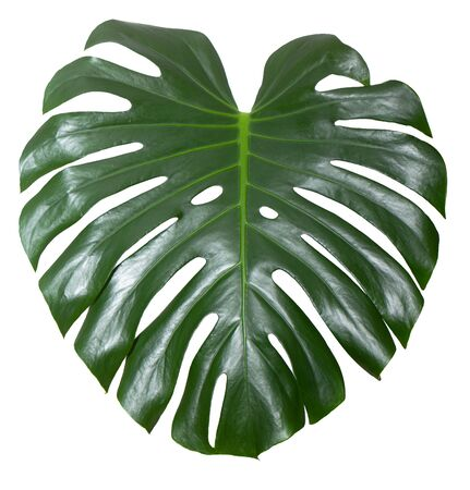 Monstera Beautiful green leaf of houseplants, on a white background, element for design or decoration.