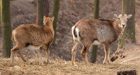 Two young female deer in the forest, selective focus, closeup. 免版税图像