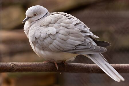 A beautiful big gray dove of Texan meat sits on a pole in a paddock. Close-up. Banco de Imagens
