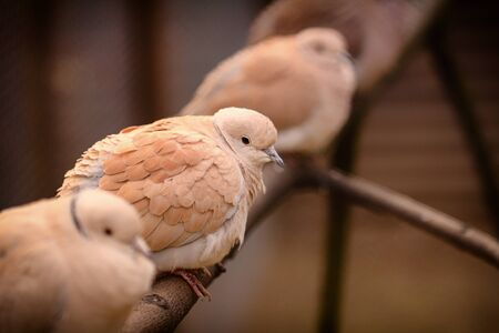 Several pigeons, a Texan meat breed, sit on a pole in a paddock. Selective focus.