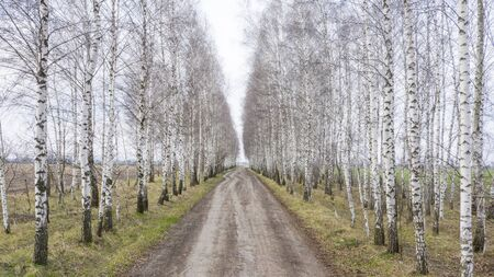 The road is paved with stones, passing through a birch grove. in the form of a tunnel.