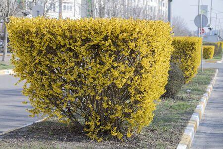Forsythian Bushes On The City Street Carefully Groomed Plant