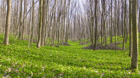 Grass completely covers the ground in the spring forest. 写真素材