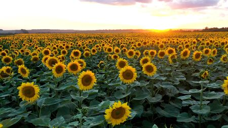 Aerial view of sunflower field at sunset. summer colored landscape.
