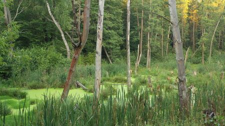 Green swamp in the forest 写真素材