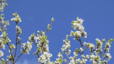 Spring background. White fruit tree flowers on blue sky background. Beauty and freshness, cherry blossoms, pears or apples. The concept of youth, spring, beauty and strength.
