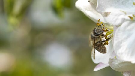 Bee on a white flower Apple tree spring background with white flowers of fruit trees.