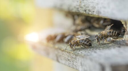 Bees at the entrance to the hive, close-up. Apiary of the Ukrainian steppe bee breed.