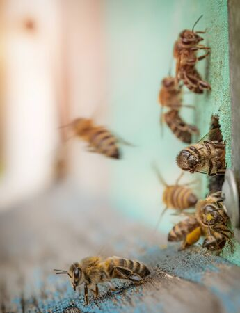 Bees at the entrance to a wooden hive. Macro.