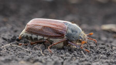 Melolontha, a large yellow beetle, a pest on the soil surface.