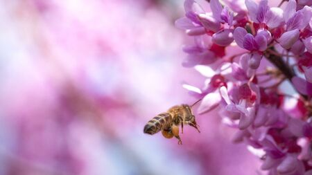 Bee on small pink flowers Paulownia close-up