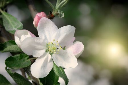 White cherry, cherry or pear flowers on sky background.