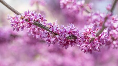Cercis canadensis Canadian crimson, pink flowers macro, background