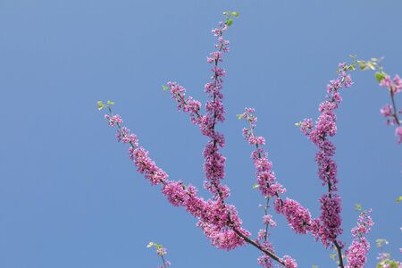 Cercis canadensis Canadian crimson, pink flowers on a background of blue sky.