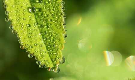 Green natural fresh background. Large drops of dew on fresh green grass.